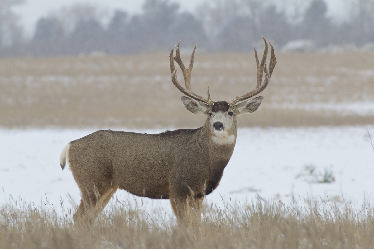 Wyoming's Top 10 Monster Mule Deer of 2014